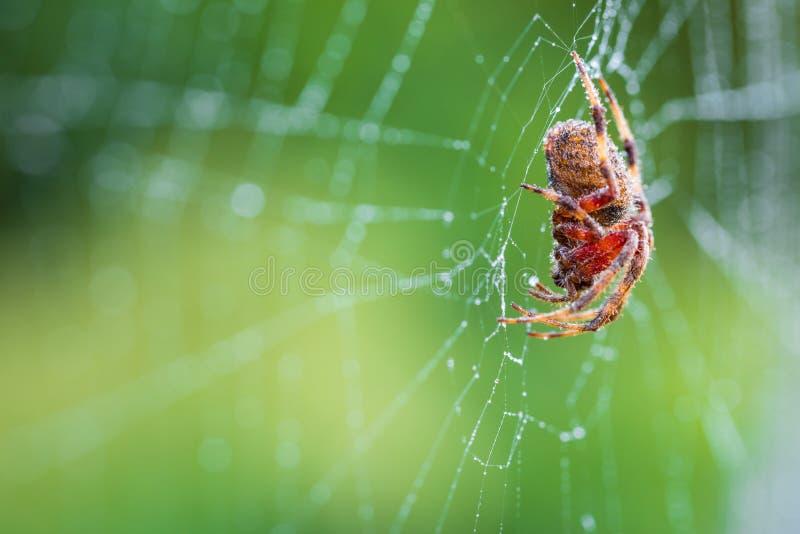 等待的蜘蛛 免版税库存照片