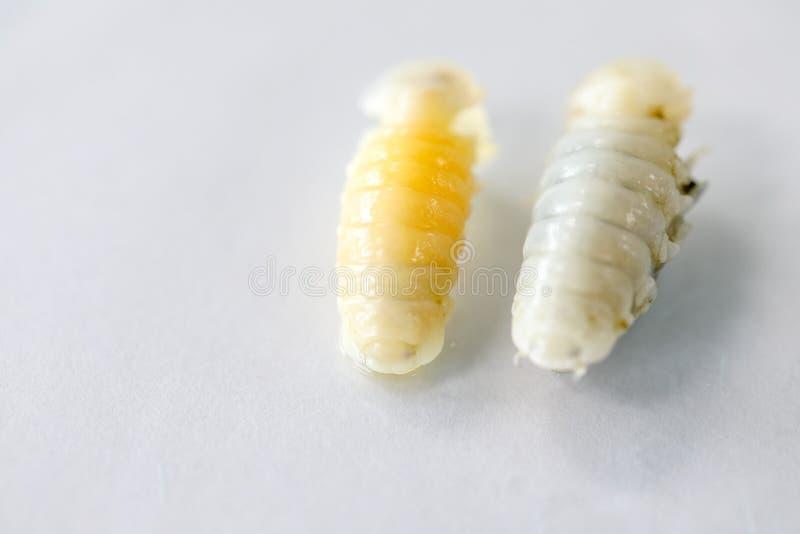 等足目类甲壳纲,Isopods住在海,淡水的,Isopods有几丁质的外骨骼和被联接的肢体在实验室 免版税图库摄影