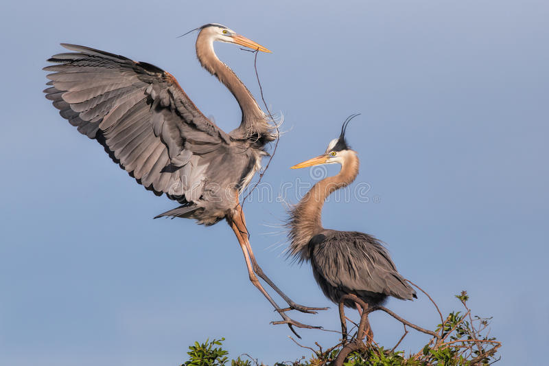 筑巢伟大蓝色的苍鹭的巢鸟 库存照片
