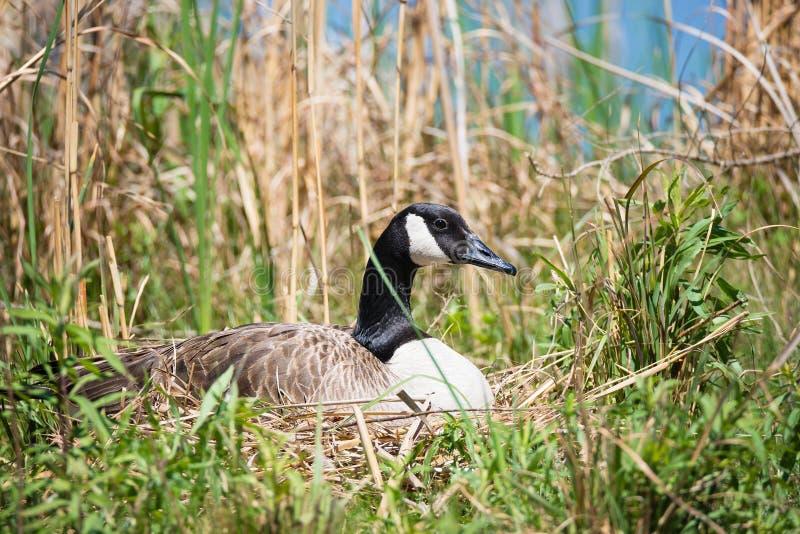 筑巢加拿大鹅坐她的鸡蛋 免版税库存照片