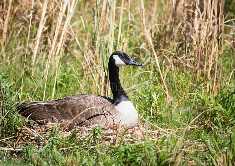 筑巢加拿大鹅坐她的鸡蛋 库存图片