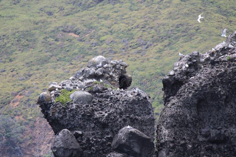 筑巢在岩石的海鸥 免版税库存图片