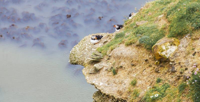 筑巢在岩石露出的海鹦 库存照片
