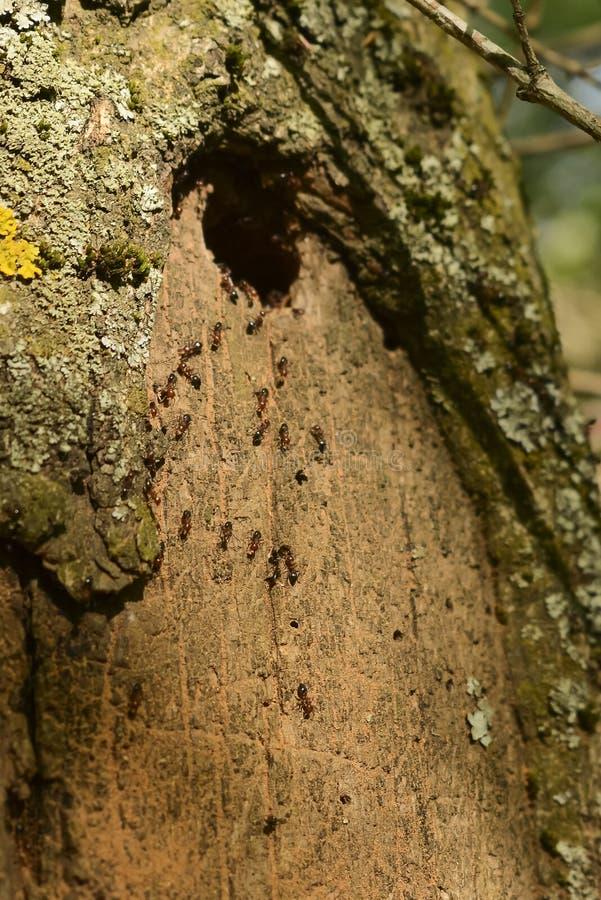 筑巢在树的小组蚂蚁 免版税库存图片