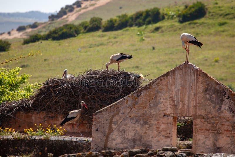 筑巢在被破坏的房子的鹳在摩洛哥 库存图片
