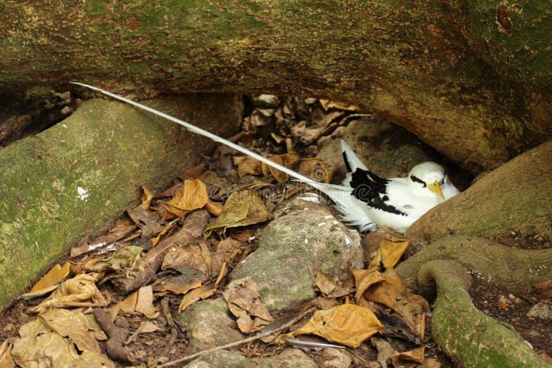 筑巢白被盯梢的回归线鸟 库存图片