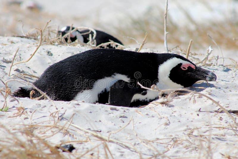 筑巢非洲企鹅 免版税图库摄影