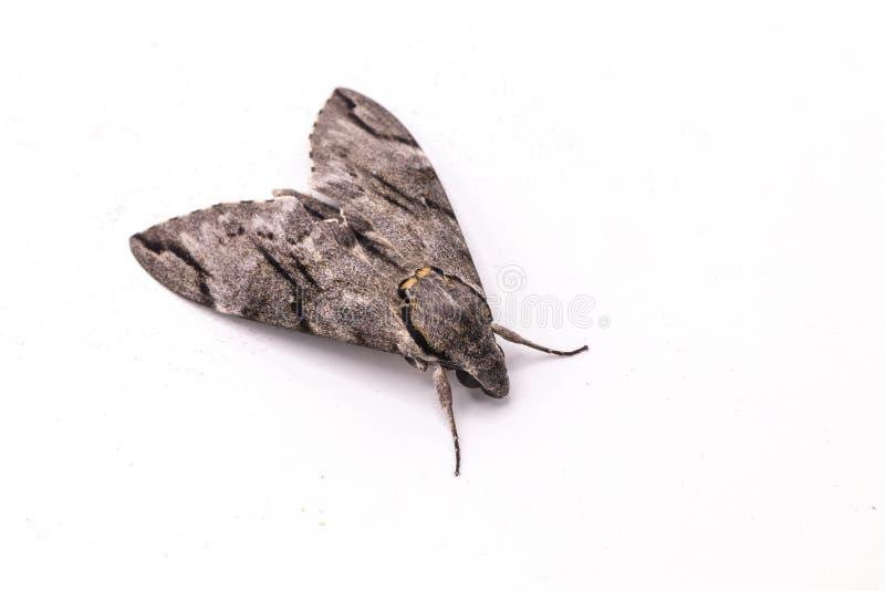 简单的灰色天蛾孤立的关闭在白色背景 Psilogramma increta 免版税库存照片