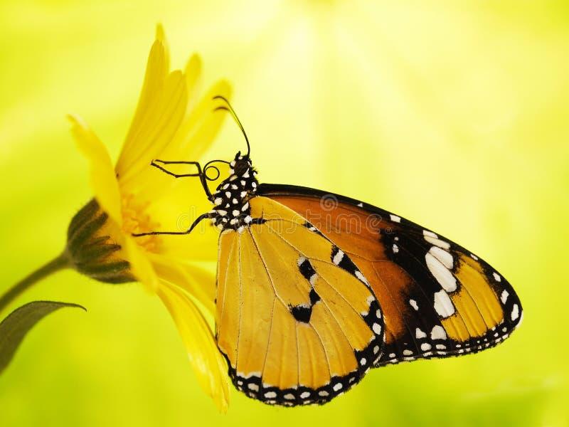 简单的老虎蝴蝶,丹尼亚斯chrysippus,在万寿菊花在黄色和绿色blured背景 库存照片