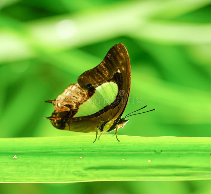 简单的Nawab蝴蝶在庭院里 免版税库存照片