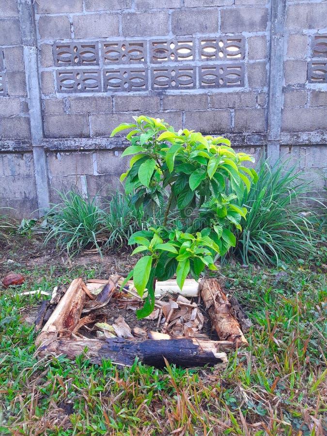 简单种植鳄梨树或鳄梨属美国-增长的年轻健康鳄梨树-有机种植园 免版税库存图片