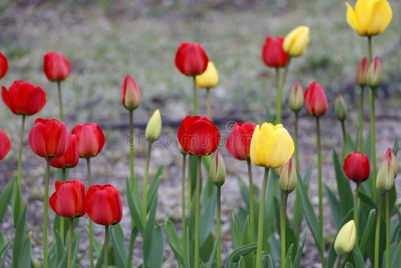 简单郁金香花,红色和黄色在公开区域增长 库存图片
