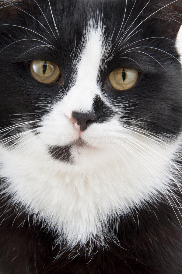 箝制在白色背景的一只猫 图库摄影