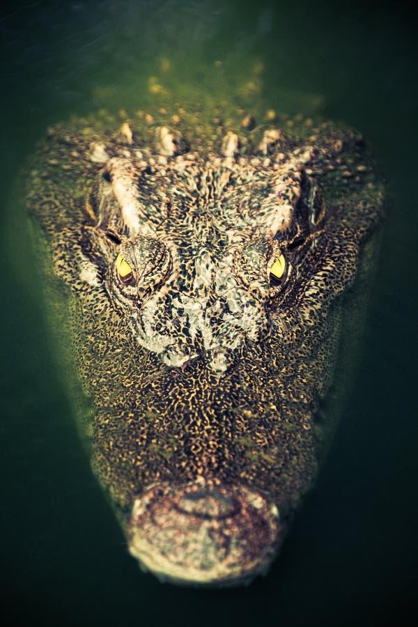 箝制鳄鱼特写镜头画象在绿色水中 免版税库存图片