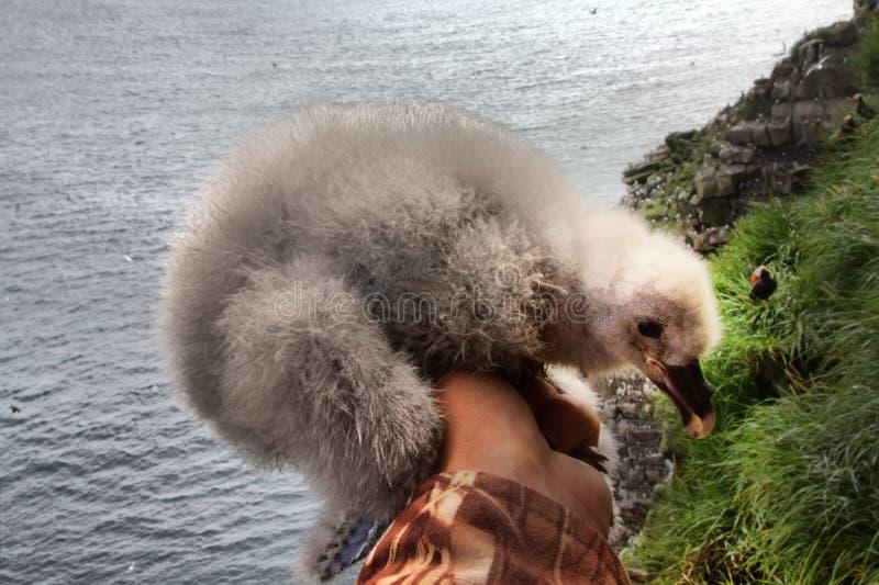 管鼻获厚实的白色蓬松刚孵出的雏在手中研究员鸟类学家 免版税库存图片