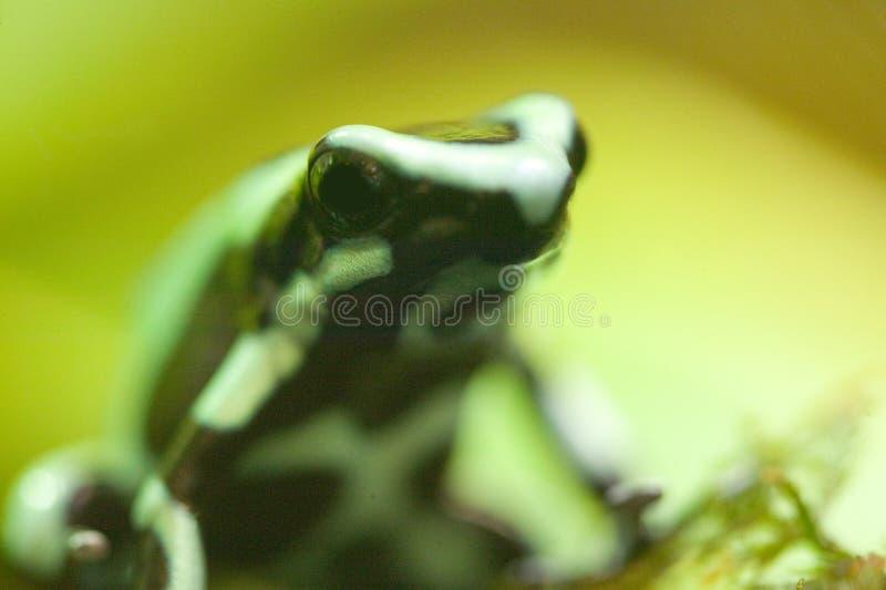 箭头箭dendrobates青蛙绿色毒物 图库摄影