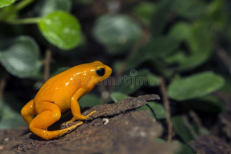 箭青蛙桔子毒物 图库摄影