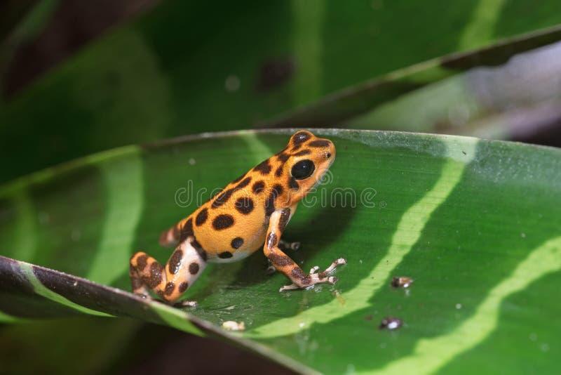 箭青蛙毒物草莓 库存照片