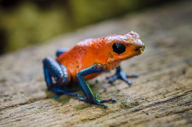 箭青蛙毒物草莓 免版税库存图片