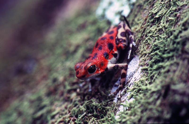 箭青蛙毒物 库存图片