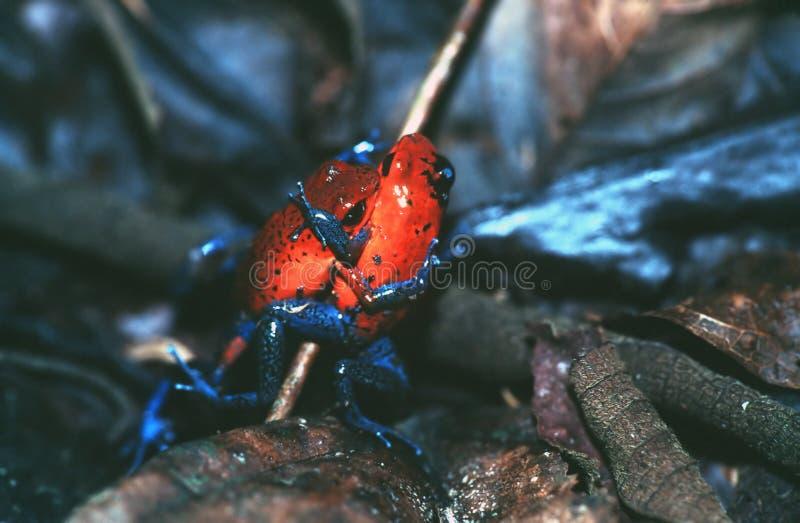 箭青蛙毒物 免版税图库摄影