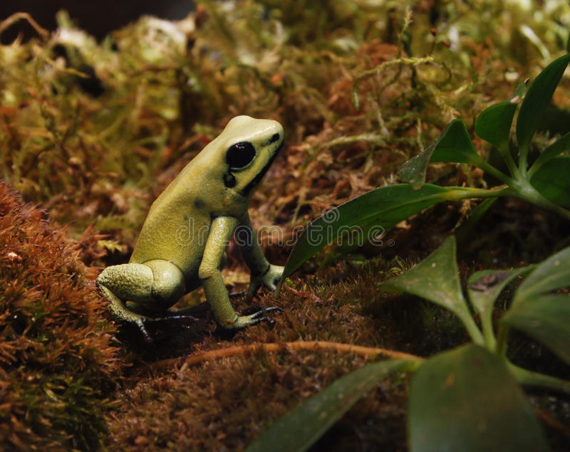 箭青蛙金黄毒物 库存照片