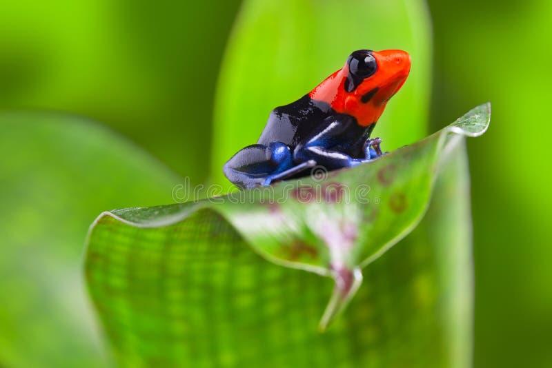 箭青蛙 库存照片