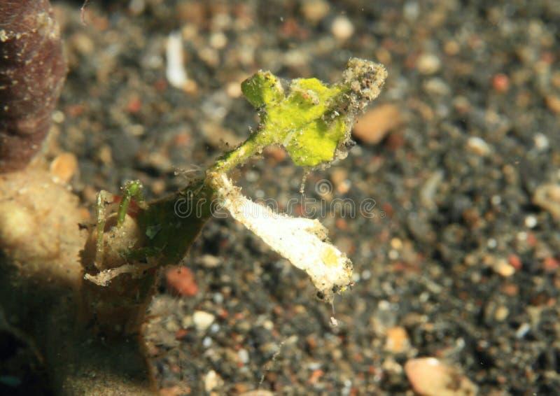 箭头螃蟹 免版税库存照片