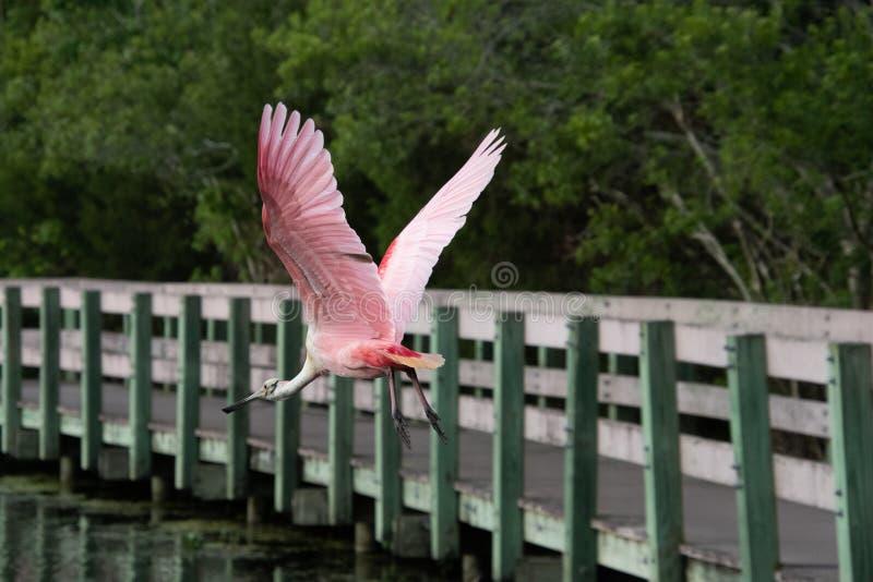 篦鹭在飞行中在自然保护区 免版税库存照片