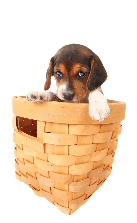 篮子小猎犬小狗 库存照片