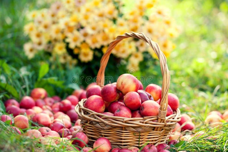 篮子用在草的红色苹果 库存照片