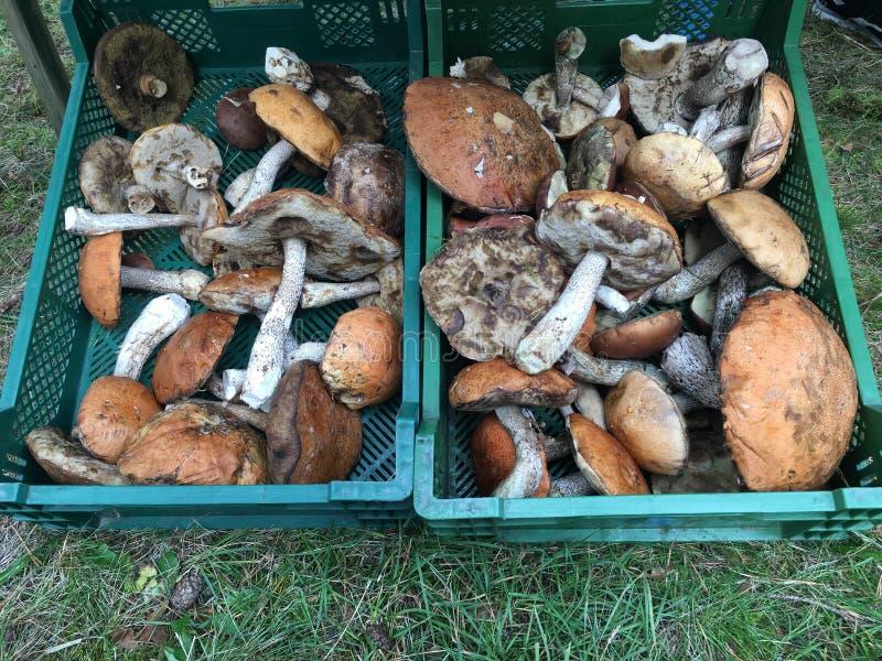 篮子蘑菇二 库存照片