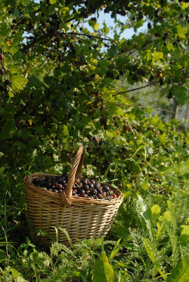 篮子鹅莓 免版税库存图片