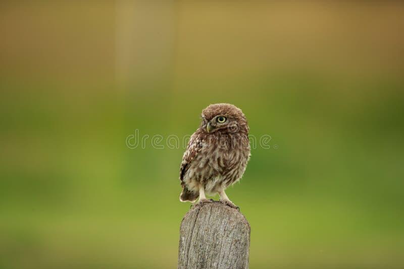 篱芭岗位的一个小猫头鹰青少年 免版税库存照片