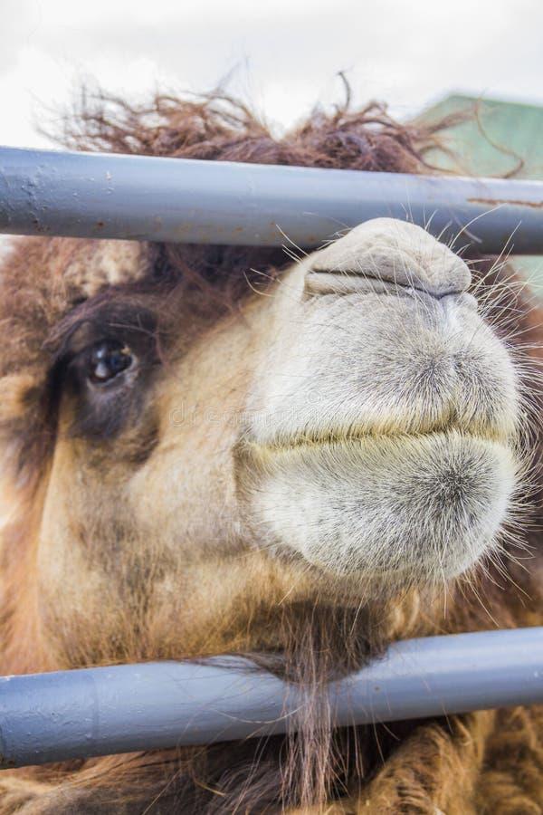 篱芭的骆驼。 免版税库存照片