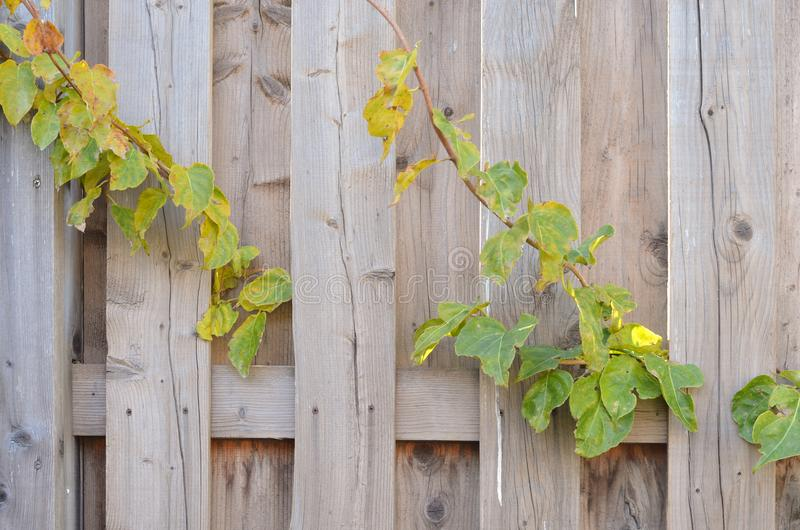 篱芭部分地被做老木板、明亮的颜色和篱芭植物,好的背景 免版税库存照片