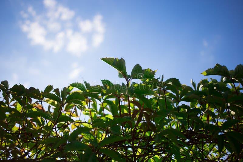 篱芭,长得太大的年轻绿色少女葡萄 库存照片