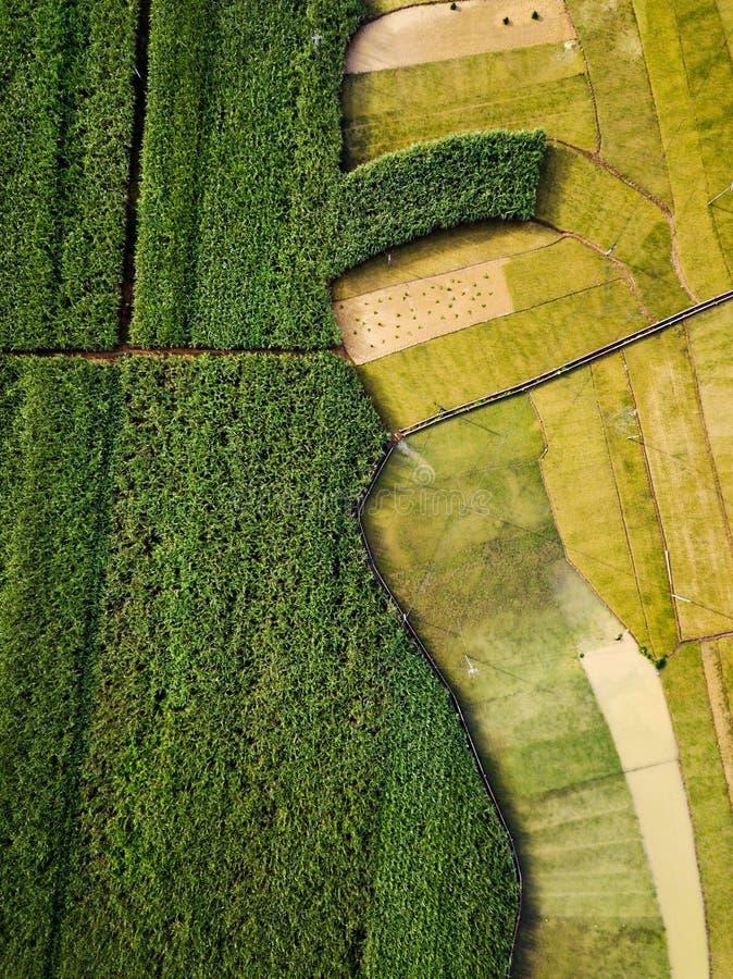 米和甘蔗领域由路鸟瞰图划分了 库存图片