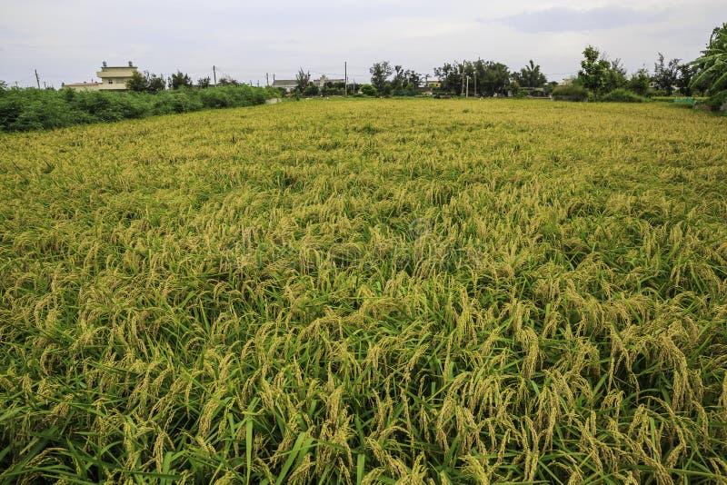 稻米在乡下 库存照片