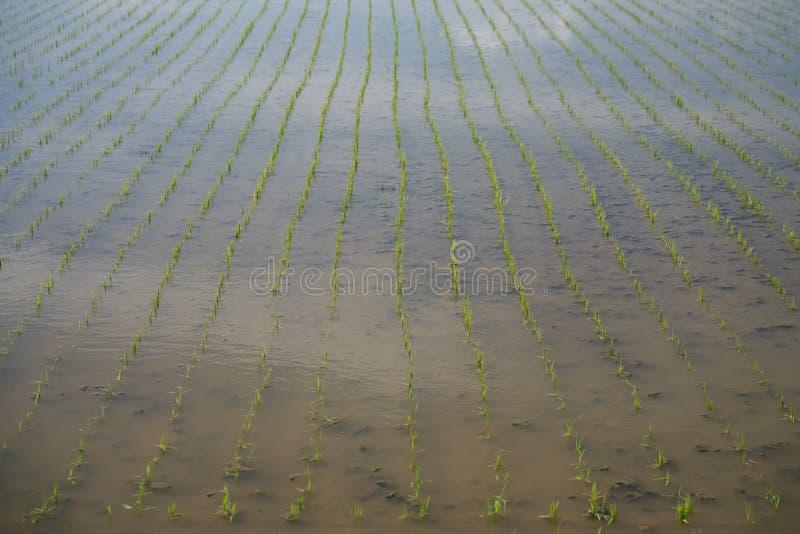 米在移植的米幼木之后的领域或稻米在千叶,日本 免版税库存图片