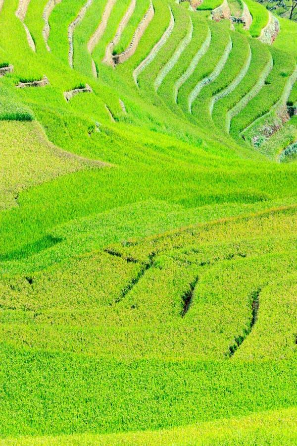 米在露台调遣Mu Cang柴, YenBai,越南 米领域在西北越南准备收获 免版税库存照片