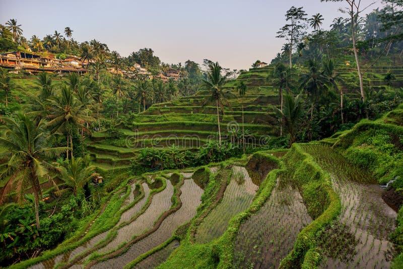 米大阳台在Tegallalang, Ubud,巴厘岛,印度尼西亚庄稼,农场, 免版税库存照片