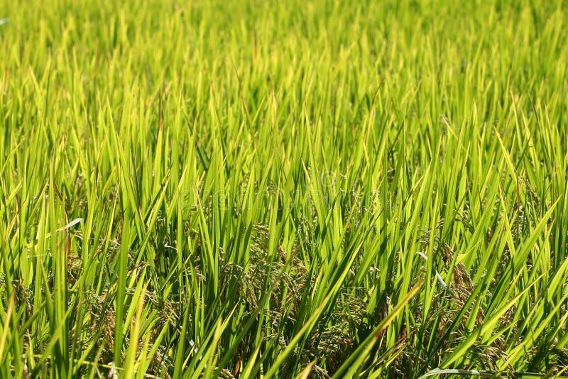 Download 米大阳台,清迈,泰国 库存图片. 图片 包括有 巴厘岛, 横向, 天堂, 庄稼, 种植园, beautifuler - 62526325