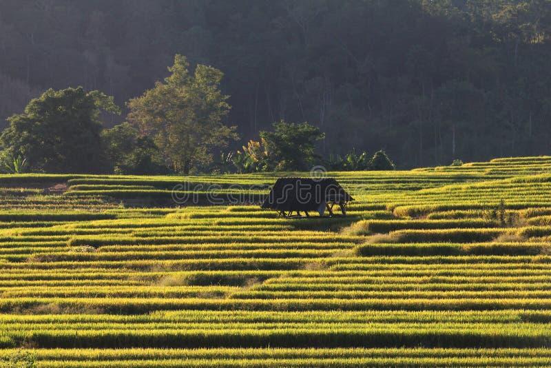 Download 米大阳台,清迈,泰国 库存照片. 图片 包括有 横向, 庄稼, 痛苦, 聚会所, 绿色, 培养, 地产, 外部 - 62526338