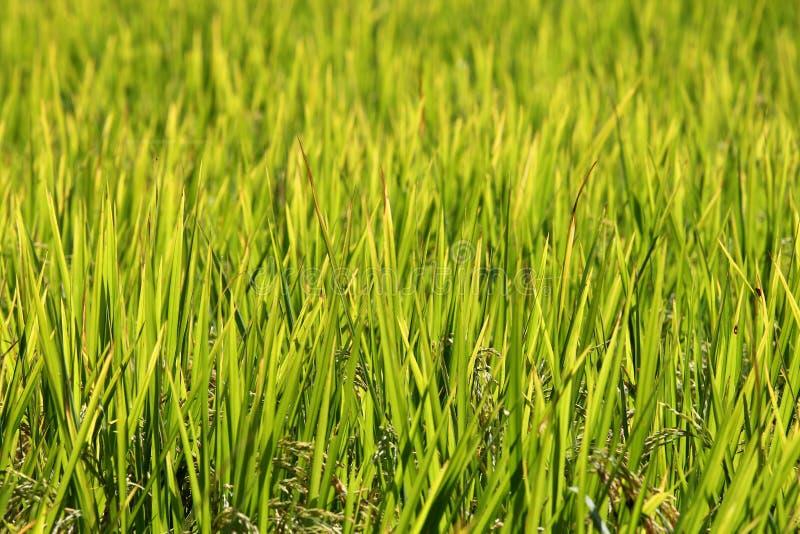 Download 米大阳台,清迈,泰国 库存图片. 图片 包括有 横向, 安排, 全景, 外部, 环境, 痛苦, 收获, 工厂 - 62526339