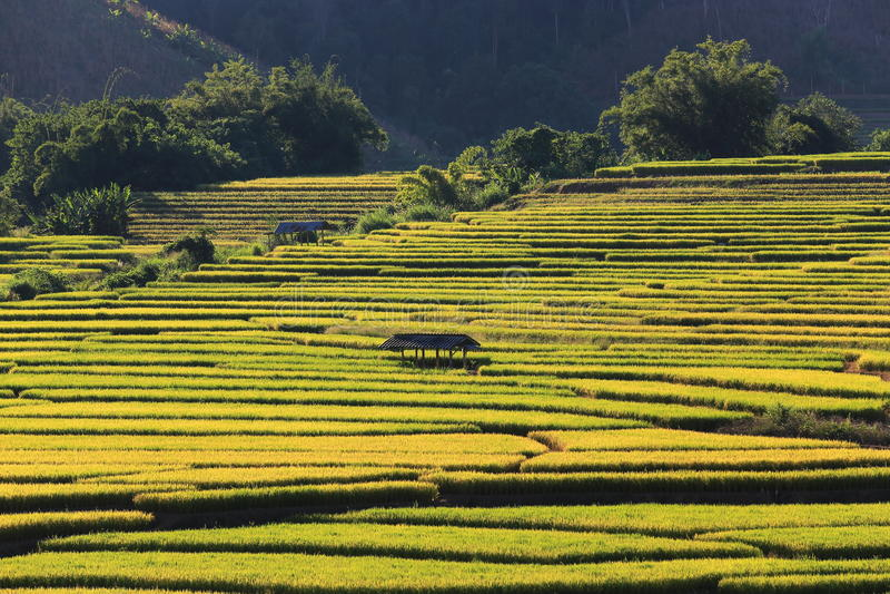 Download 米大阳台,清迈,泰国 库存图片. 图片 包括有 背包, 东部, 著名, 收获, 地标, 农田, 环境美化 - 62526357