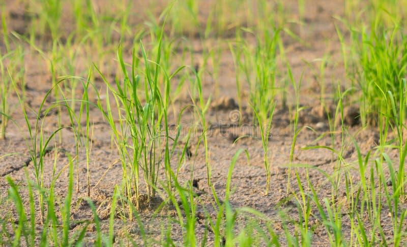 米幼木和贫瘠土壤 库存照片