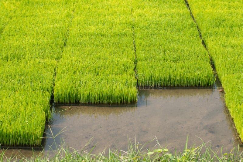 米幼木在米领域的 oung米在p增长 库存图片