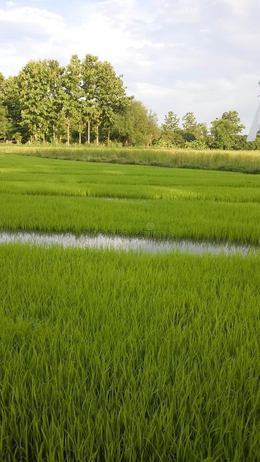 年轻米新芽看法准备好对生长在米领域 图库摄影