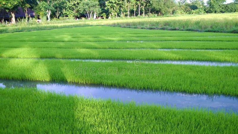 年轻米新芽看法准备好对生长在米领域 免版税图库摄影